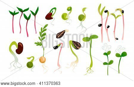 Green Sprouts. Microgreen Growing Seed, Plant Growth Phase. Seedling With Leaves And Roots. Vegetabl