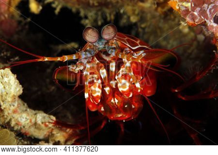 Close-up Of A Peacock Mantis Shrimp (odontodactylus Scyllarus, Aka Harlequin Mantis Shrimp). Misool,