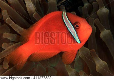 Tomato Anemonefish (amphiprion Frenatus) In An Anemone. Anilao, Philippines