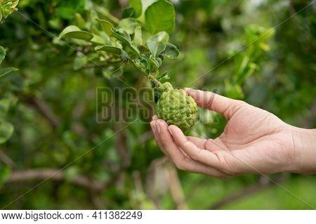 Woman Hand Holding Bergamot On Tree, Close Up