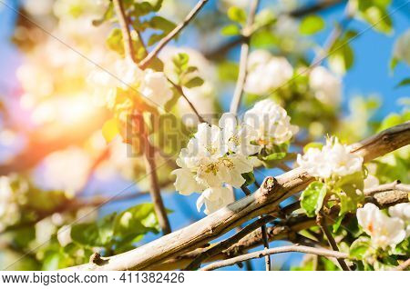 Spring flowers of blooming spring apple tree.Natural spring flower landscape,spring apple flowers,spring garden,sunny spring nature,colourful spring landscape.Spring flowers,spring background,spring flower background