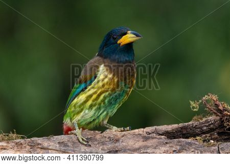 A Lone Colorful Great Barbet (megalaima Virens), Resting Atop A Tree Log In The Forests Of Sattal In