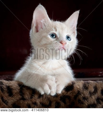 Small Cat Kid In Blue Eyes With White Background Beautiful Kitten Baby White Cat Child