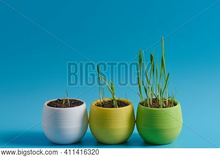 Young Grass In A Pot On A Blue Background