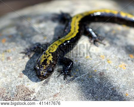 A Long-toed Salamander (ambystoma Macrodactylum_ On A Rock
