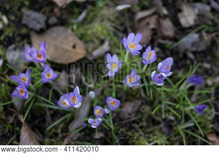 Purple Blue Crocuses With Yellow Stamens Blooming Between Dry Foliage From Last Year, First Colorful