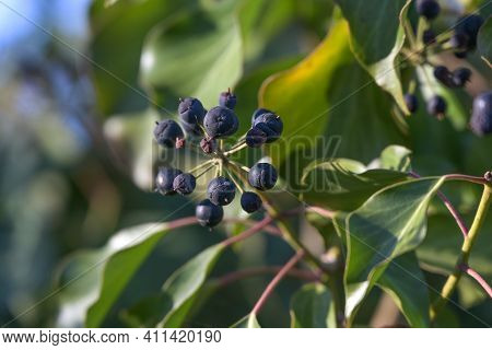 Fruits Of Common Ivy (hedera Helix), Evergreen Climber For Natural Gardens And Parks, Copy Space, Se