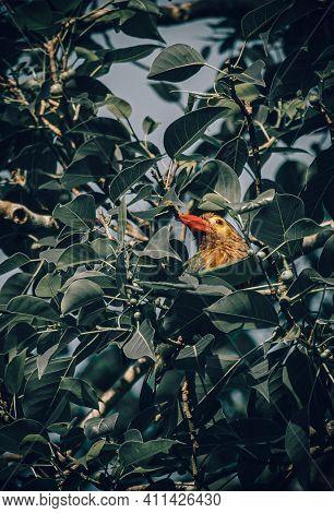 Beautiful Barbet Bird Peeking Through Tree Leaves. Watch Out Of The Surroundings.