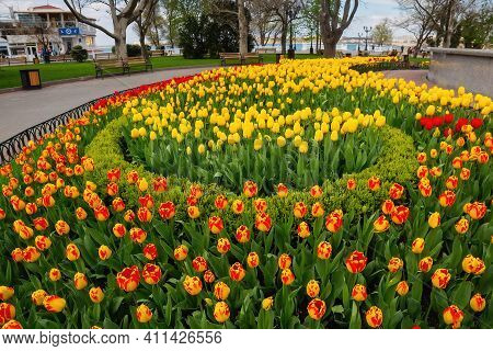 City Flowerbed With Beautiful Orange, Red And Yellow Tulips. Spring In Crimea. Sevastopol, Crimea