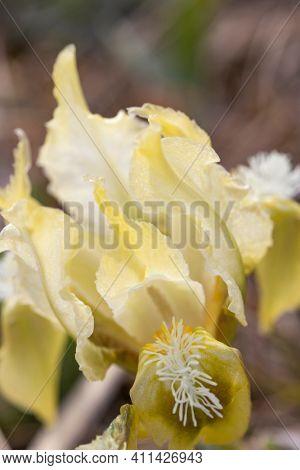 Dwarf iris in Pusty kopec u Konic near Znojmo, Southern Moravia, Czech Republic
