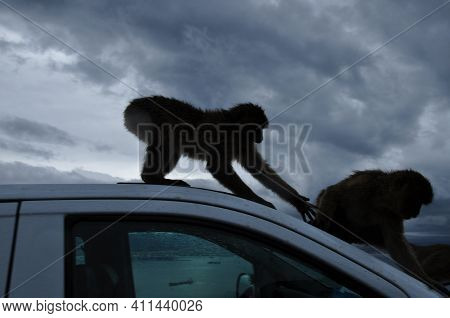 Defocused Silhouettes Of Furry Monkeys Sit On Car Roof With Grey Overcast Background. Ape Trying To