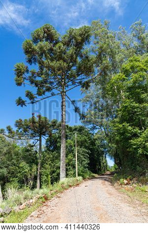 Araucaria Trees And Dirty Road, Bento Goncalves, Rio Grande Do Sul, Brazil