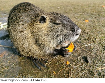 Nutria Or Myocastor Coypus, Also Known As Nutria. It Is A Large Herbivore That Lives On The Banks Of