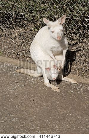 The Albino Wallaby Is White With Pink Ears, Paws And Nose