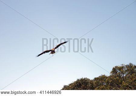 The Black Kite Is A Brown Raptor