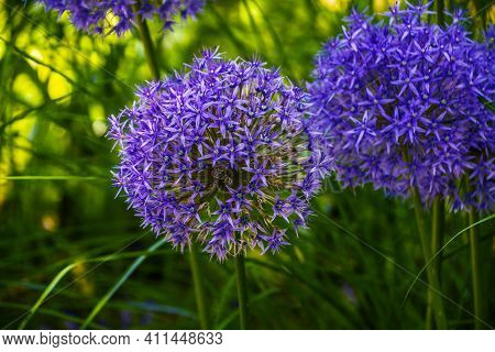 Blue Onion (allium Caeruleum) Is Species Of Perennial Herbaceous Plants Of Genus Allium Of Amaryllid