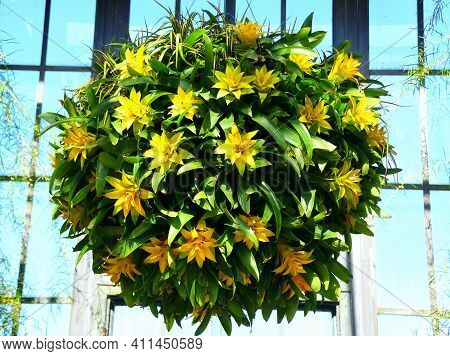 The Hanging Tropical Plants Of Guzmania Depladia Diana In Round Shape