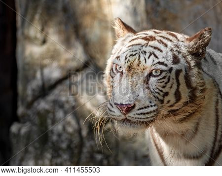 Close Up Head Of White Bengal Tiger Staring Isolated On Background