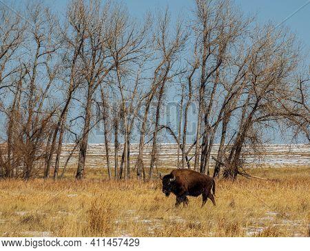 Wild Buffalo At Rocky Mountain Arsenal National Wildlife Refuge, Colorado.