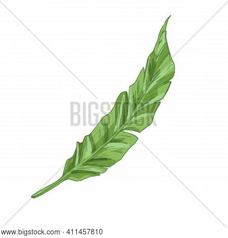 Green Banana Tree Leaf Isolated On White Background. Tropical Botanical Element From Jungle Plant. H