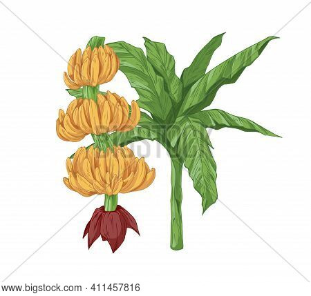 Composition With Growing Tropical Banana Plants. Branch With Ripe Fruit Bunches Or Clusters And Stem
