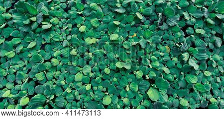 Top View Green Leaves Of Water Lettuce Floating On Water Surface. Pistia Stratiotes Or Water Lettuce