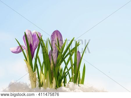 First Spring Flowers. Blooming Purple Crocus Flower Covered Snow