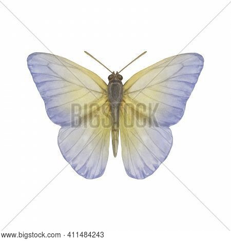 Watercolor Butterfly Single. Butterfly Isolated On White Background. Delicate Butterfly Painted In W