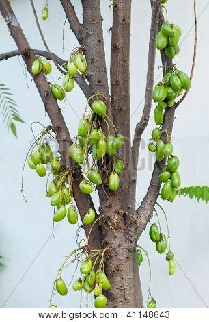 Kamias or Cucumber Tree. Scientific name: Averrhoa bilimbi; rich in Vitamin C for cough poster