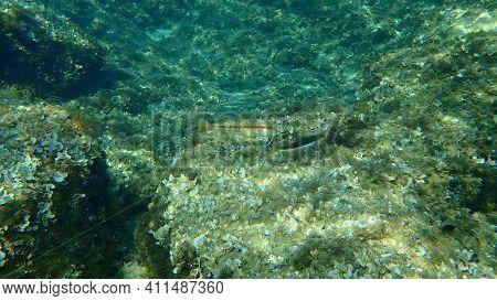 Striped Red Mullet Or Surmullet (mullus Surmuletus) And Mediterranean Rainbow Wrasse (coris Julis) U