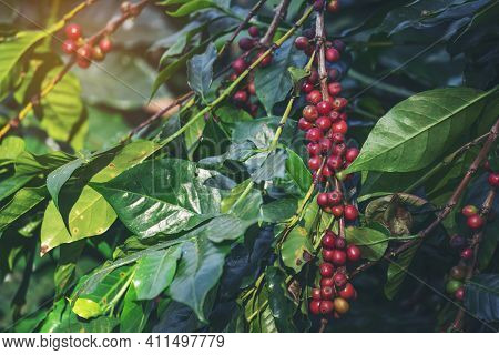 Ripe Red Coffee Bean Berry Plant Fresh Seed Coffee Tree Growth In Green Eco Organic Farm. Close Up R