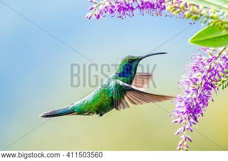 Amazilia Decora, Charming Hummingbird, Bird Feeding Sweet Nectar From Flower Pink Bloom. Hummingbird