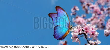 Blossoming Sakura. Branch Of Blossoming Sakura And Bright Blue Morpho Butterfly Against Blue Sky. Co