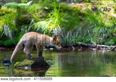 Red Fox. The Species Has A Long History Of Association With Humans.the Red Fox Is One Of The Most Im