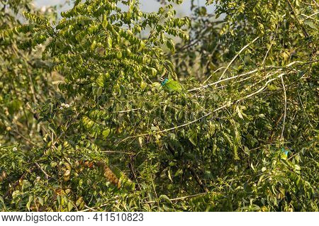 Blue Throated Barbet Or Megalaima Asiatica Bird On Natural Green Tree During Winter Migration At Dhi