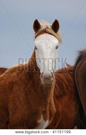 Kiger Wild Horses