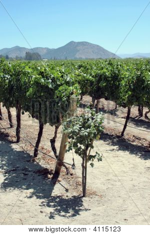 Vineyard In Chile