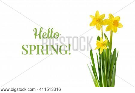 Yellow Daffodil Flowers Isolated On A White Background. Hello Spring. Spring Flower Composition.