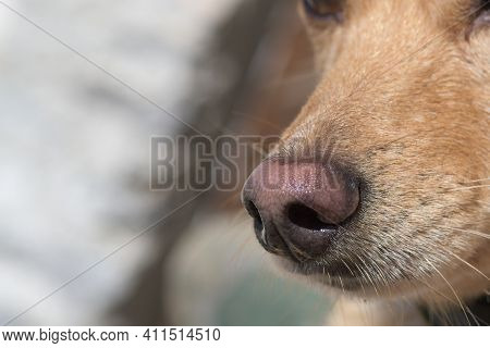 Close-up Of Light Brown Dog's Nose And Snout. Dog Training, Detection Dog Or Sniffer Dog, Senses And