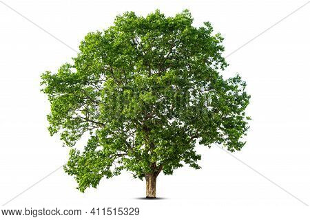 Trees Isolated On White Background, Tropical Trees Isolated Used For Design, Advertising And Archite