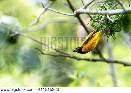 Male black-headed weaver bird takes flight from his nest. Space for text.