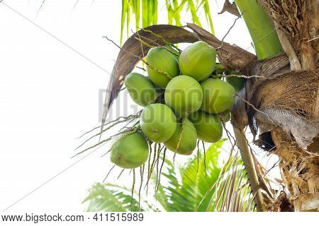 Green Coconut Fruit That Is On The Natural Tree,  Isolated On White Background.