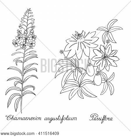 Passion Flower, Passiflora. Rosebay Willowherb, Fireweed. Sketch. Sketch. Hand Drawn Vector Illustra