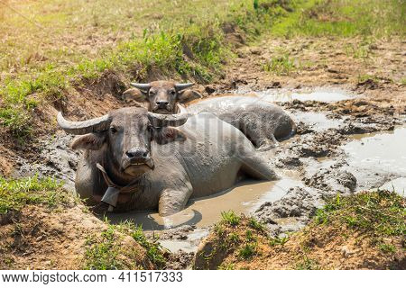 Water  Buffaloes,  Swamp Buffalo Soaked Happily In Mud Water On Summer At The Rural Village In Thail