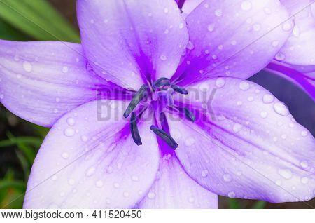 Spring flower of lily. Lily spring flower of purple color blooming in the spring garden. Selective focus at the lily flower stamens, spring flower, lily in spring, spring flower of lily, lily flower in the garden, spring flower garden