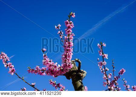Peach Blossom In Cieza, Mirador Del Soto De La Zarzuela. Photography Of A Blossoming Of Peach Trees