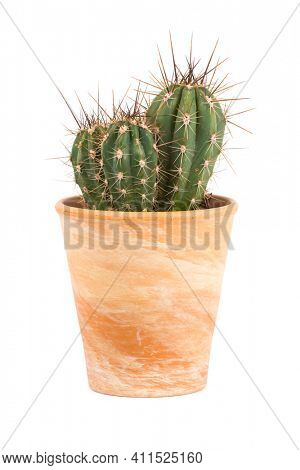 Small cactus plant, Stetsonia coryne genus, in terra cotta flower pot isolated  on white background