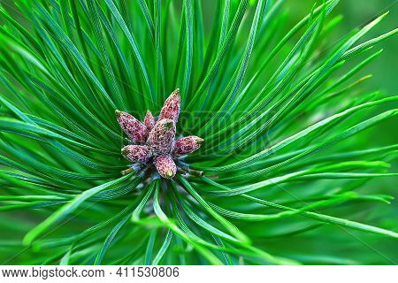 Young Shoots Of Pine Cones. Little Pine Cones, New Spruce Shoots, Young Pine Needles And Cones. Clos