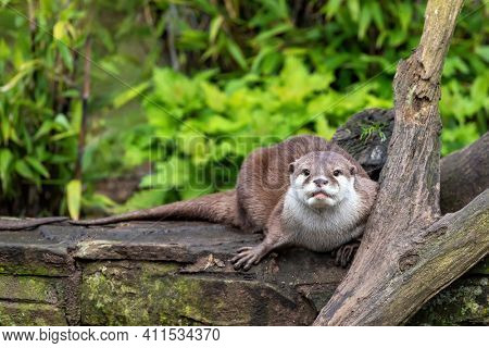 Oriental small-clawed otter crouched on a wall. This is the smallest otter species in the world and is indigenous to the welands of South and Southeast Asia.