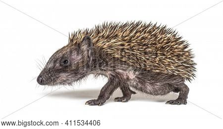 Side view of a Young European hedgehog walking on a white background